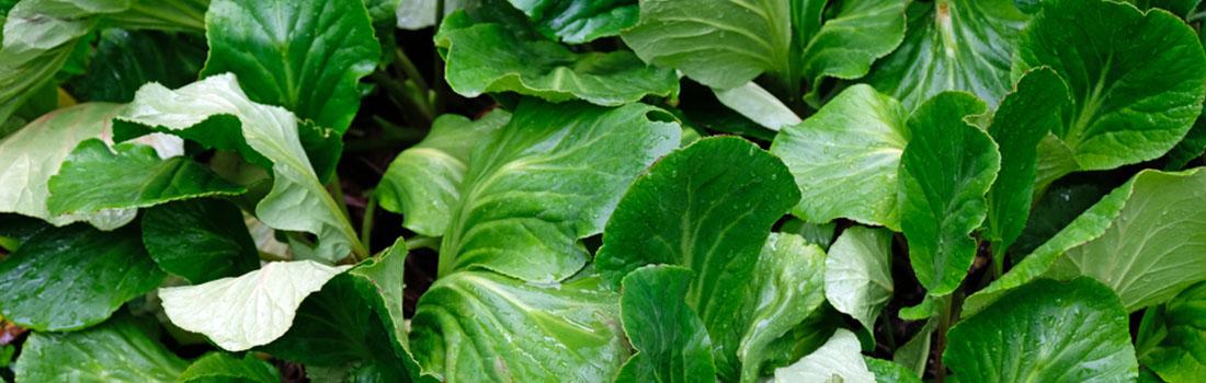 Tatsoi, verdura exótica con beneficios para nuestra salud!
