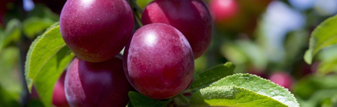 La ciruela: Fruta deliciosamente buena para el organismo