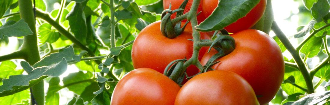 Un tomate para cada cosa! Conoce sus tipos y usos en ClubSusazón